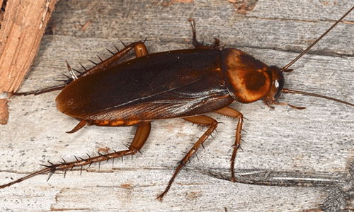 american cockroach removal