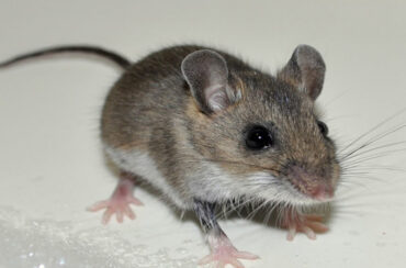 Rats and mice cause disease