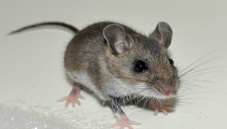 Colder weather brings rats indoors