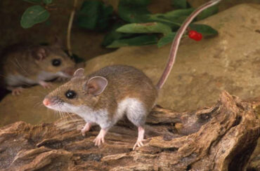 Signs of rats and mice infestations