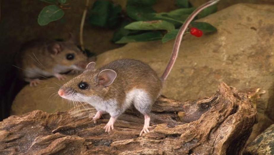 Rats exterminator