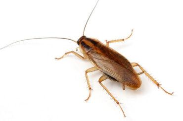 Cockroaches spread disease