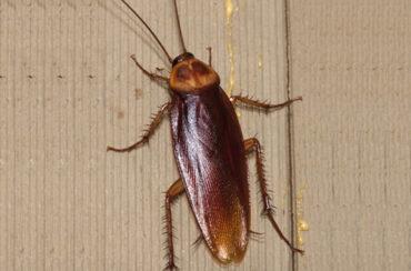 Cockroaches, How they get in to your home