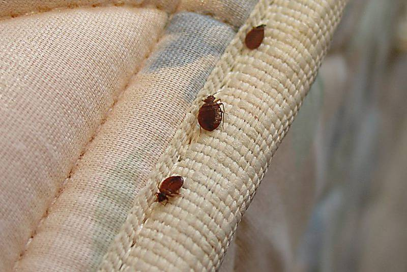Signs of Bed bugs infestation