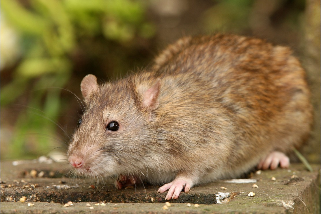 Mice and rats are harmful